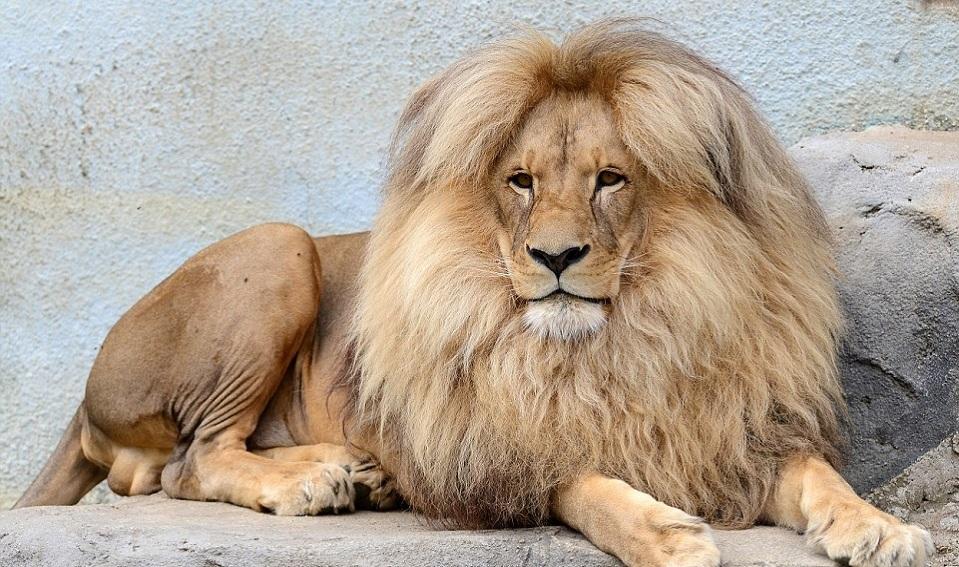 Giải mã điềm báo mơ thấy sư tử – Đánh con nào chính xác nhất