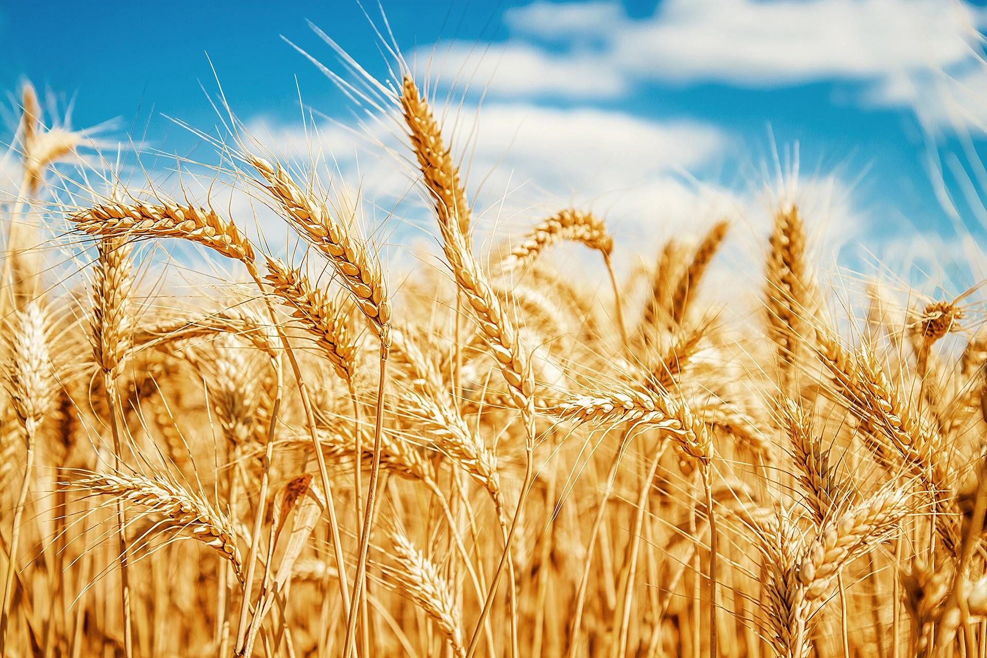 Mơ thấy lúa mạch chơi con gì chắc ăn?