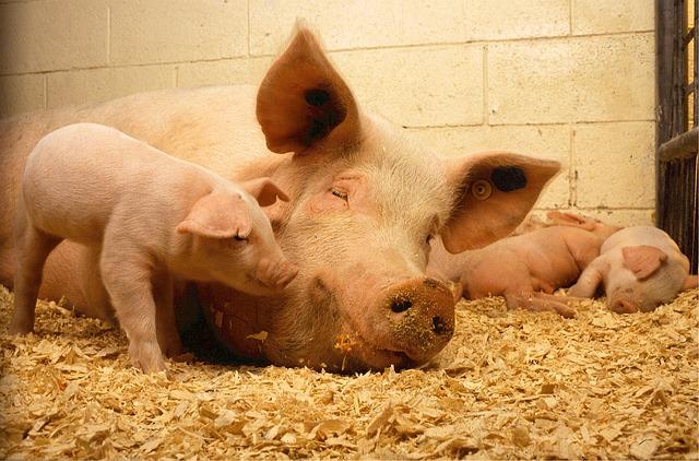 Những giấc mơ thấy lợn là điềm báo gì? Nên làm gì khi mơ thấy lợn?