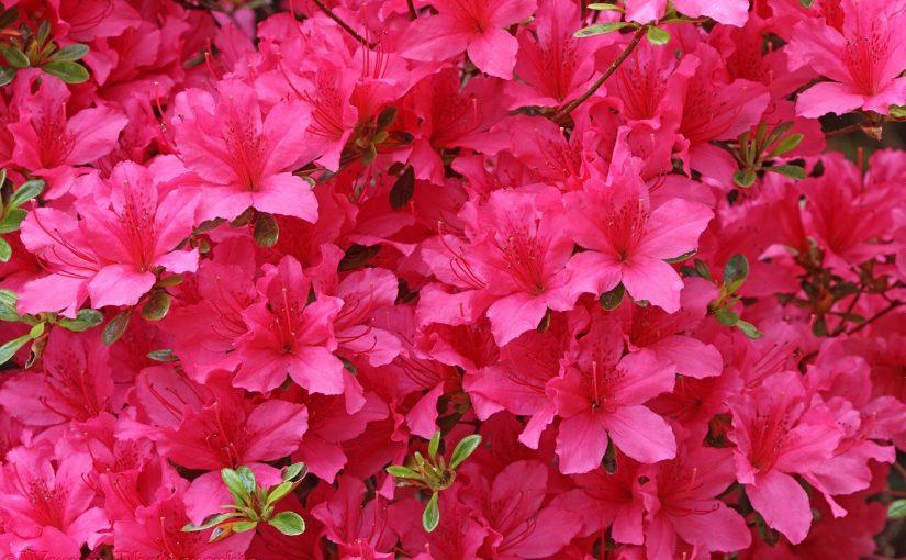 Có ý nghĩa gì khi mơ thấy hoa đỗ quyên? Giải mã giấc mơ hoa đỗ quyên