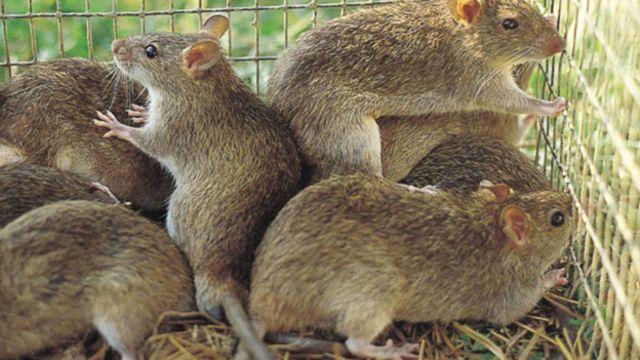 Nằm mơ thấy chuột, chuột bạch, chuột cắn điềm báo gì, lành hay dữ?